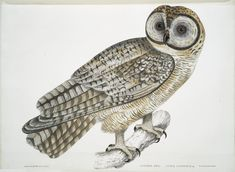 Chinese Owl [New York Public Library, rare book division]