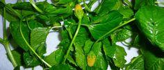 Le brède mafane : Acmella oleracea Probablement originaire d'Amérique du Sud, Acmella olerea est inconnue à l'état sauvage. La culture du brède mafana s'est répandue dans toutes les zones tropicales. Selon les régions, les feuilles sont utilisées en cuisine comme un légume frais (pour relever le goût des salades) ou après cuisson. A Madagascar, il […]