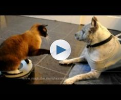"""Please Visit: http://HelensPets.com  My funny cat Max-Arthur and pit bull Sharky. This was so funny - I hope you enjoy it.  Let me know if you need help cleaning floors!!! ;) """"Move - Get Out The Way!"""" Roomba Driver cat Bitch Slaps a Dog pit bull Sharky Let's Be Friends!!! SHARKY the American Pit Bull Terrier:..."""