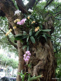 Orquídea da rua Visconde de Pirajá