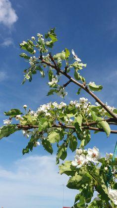 Omenapuut kukkii..