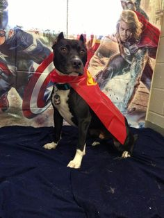 My stray Pit Bull, Pittie Cent, from the super hero birthday party he went to last week. Now who wouldn't want to adopt an adorable face like that?