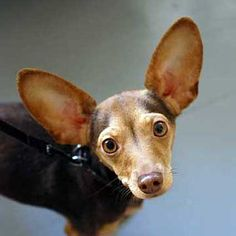 Chiweenie- He's got Big Ears.