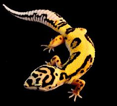 Genetic morphs of the Leopard Gecko - this is the Bandit Bold Jungle