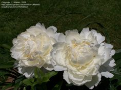 Bowl of Cream - One of the best whites. Very big creamy flowers, with a lovely shape. Strong stems that support the flowers well. Dark green foliage. Mid season. American Peony Society Gold Medal.