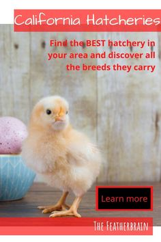 Find chicken hatcheries near you in the state of California, and learn which breeds they carry. Whether you want rare, friendly heritage breeds, the best egg layers, or beautiful giant breeds, you'll learn where to find them here. Types Of Chickens, Raising Chickens, Ranch Chicken, Chicken Eggs, California Chicken, Silkie Chickens, English Games, Chicken Breeds, Backyard Chickens