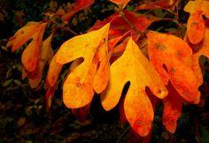 Sassafras Leaf Identification   the wonderfully aromatic sassafras tree sassafras albidum