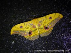 Moth, Willow_St Lucia_SA VI South Africa Wildlife, Moth, Insects, Animals, Animales, Animaux, Animal, Animais