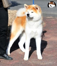 Akita inu male  TAIEMMARU GO Hinai Ougi  living in Fuen No Oka kennel