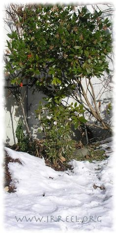 Arbousier et neige, le 10 janvier. Délicieuses arbouses gelées à croquer.