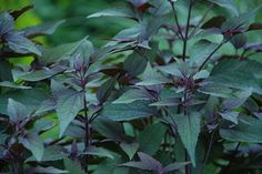Chocolate Joe Pye Weed - Eupatorium rugosum* 'Chocolate'. *now Ageratina altissima