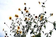 Mountainair Sunflower Festival page, photo by Robin DesJardins, Imagio Studio