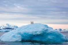 «Во время поездки по воде вдоль Антарктического полуострова, мы увидели двух пингвинов смотрящих на окрестности с вершины айсберга». Фотограф Дэвид Менакер (David Menaker).