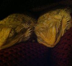 Cute little baby bearded dragons