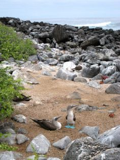 These blue footed boobies have a pretty nice view from their back window. #travel #kids #birds #familyvacations #travelwithkids #familytravel #familyholidays #ecuador #galapagosislands http://www.suitcasesandstrollers.com/articles/view/the-galapagos-islands?l=s