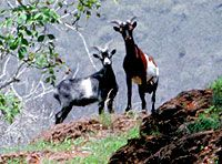 Feral goats on James Island, Galapagos