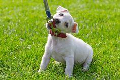 Hundewelpe will nicht an der Leine gehen