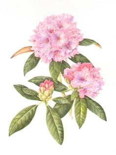 Rhododendron by Sue Woodfine