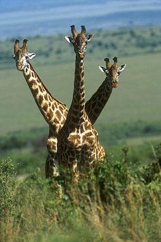 ˚3-Headed Giraffe