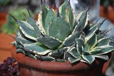 Agave parryi 'Cream Spike'