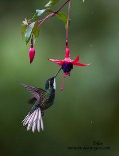 Hummingbird - Feeding in the Rain, by Judy Lynn Malloch Cute Birds, Pretty Birds, Beautiful Birds, Animals Beautiful, Beautiful Flowers Photos, Amazing Flowers, Exotic Birds, Colorful Birds, Images Colibri