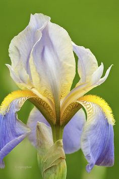 "Iris ""Mady Carriere,"" Presby Memorial Iris Garden, Montclair, New Jersey"