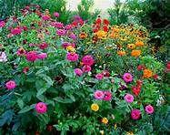 My garden 2012 Zinnias, Beautiful Flowers, Photo And Video, Rose, Green, Plants, Terrains, Garden Ideas, Images