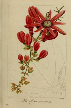 img/dessins fleurs utiles et agreables/50061 grenadille a grappes - passiflora racemosa.jpg