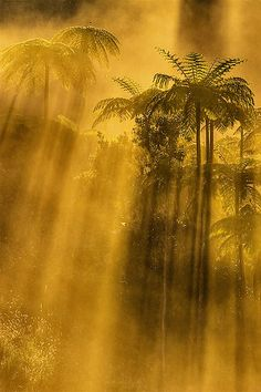 The early morning sun through the tree ferns of the Atherton Tablelands at Topaz Far North Queensland Australia Travel, Western Australia, Atherton Tablelands, Australian Capital Territory, Tree Fern, Colouring Pics, Peaceful Places, Great Barrier Reef, Morning Sun