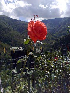 Una bellissima Rosa