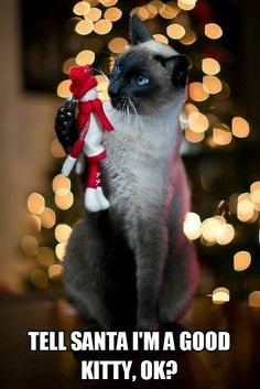 Here kitty kitty kitty ! Pretty Cats, Beautiful Cats, Cute Cats, Christmas Kitten, Christmas Animals, Crazy Cat Lady, Crazy Cats, Siamese Cats, Cats And Kittens