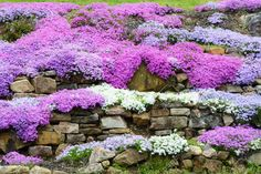 Creeping Phlox is a very hardy spring blooming ground cover excellent for Central Oregon gardens.  There is a native variety you can see when out hiking in the spring, especially on Gray Butte in Smith Rock State Park.