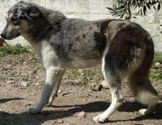ORYA - Adopta-me  Cadela - Outra Raça...  Idade: Jovem Sexo: Fêmea Tamanho: Grande Pêlo: Cinzento e Branco