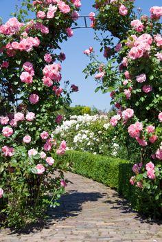Roses on a trellis