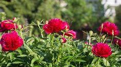 Bougainvillea, Small Farm, Garden Crafts, Peonies, Garden Design, Lily, Vegetables, Flowers, Plants