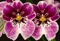 Orchid: Miltonia © - by j.lacerda