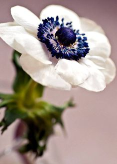 Anemone with deep blue centre Amazing Flowers, White Flowers, Beautiful Flowers, Exotic Flowers, Yellow Roses, Fresh Flowers, Purple Flowers, Pink Roses, White Anemone