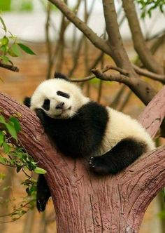 Panda Bear, China Easy Planet Travel - World travel made simple Niedlicher Panda, Cute Panda, Cute Baby Animals, Animals And Pets, Funny Animals, Wild Animals, Panda Facts, Panda Mignon, Panda Lindo