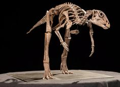 A reconstruction of the skeleton of the feathered Ornithischian dinosaur Kulindadromeus.