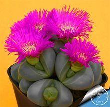 Grande Vente! 10 pcs/Lot cactus Rebutia variété couleur de floraison cactus rare cactus semences bureau mini plante succulent, # XNOLTT(China (Mainland))