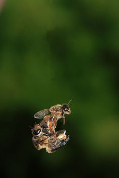 Mating occurs in flight over ten meters above ground. The young queen, born five to six days earlier, has only ventured out of the hive for her reconnaissance flight. When sexually mature, she leaves the hive on a fair windless day and mates with about a dozen males to fill her spermatheca. Mating results in death for the drones.