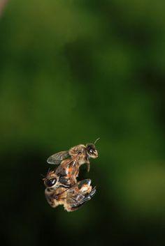 mating queen....bees © Éric Tourneret