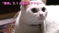 【玉之丞さまの猫萌え動画更新】Vol.5は「玉之丞さま、警戒中」。たくさんの人間たちに驚いたのかもしれません。#猫侍 #白猫 21 Years Old, Pusheen, Siamese, Beautiful Actresses, Funny Cats, Kittens, Japanese, Videos, Animals