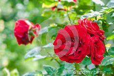 Färg och form på trädgårdsrosorna