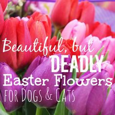 Spring means flowers are starting to bloom! Easter flowers come in many beautiful colors, but did you know that many are poisonous to dogs and cats?