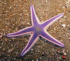 estrela do mar - Pesquisa Google