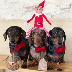 Dapple Dachshund Puppy, Dachshund Puppies For Sale, Dachshund Love, Christmas Gifts For Mom, Merry Christmas, Thai Chi, Dog Heaven, Hot Dogs, Puppy Clothes