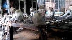 Desgarrador video muestra a macacos bebés encadenados al cuello para ser vendidos en Bali