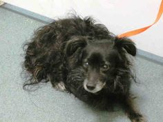 SUPER URGENT - 03/04/15 Brooklyn Center  PRINCE - A1029378  MALE, BLACK / WHITE, PAPILLON / CAVALIER SPAN, 10 yrs STRAY - EVALUATE, NO HOLD Reason STRAY  Intake condition EXAM REQ Intake Date 03/03/2015, From NY 11208, DueOut Date03/06/2015,   https://www.facebook.com/Urgentdeathrowdogs/photos/a.617942388218644.1073741870.152876678058553/971563089523237/?type=3&theater