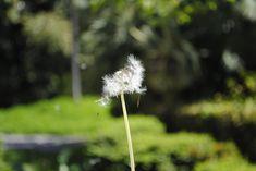 Dandelion, Flowers, Plants, Floral, Plant, Taraxacum Officinale, Royal Icing Flowers, Dandelions, Florals